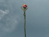 Rosa di Sanguine