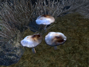 Дымчатые говорушки на местности