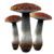 Лютый гриб