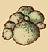 Шляпки гифоломы (иконка)