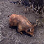 Короткошерстная свинья