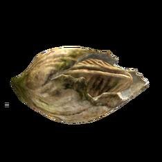 Морской жёлудь