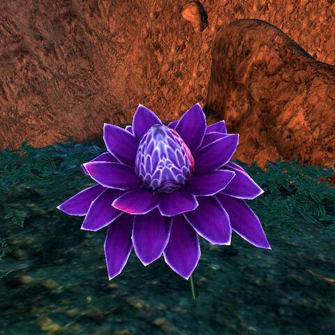 Kwiecie many, purpurowy wariant