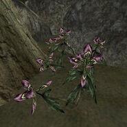 Чёрный пыльник (растение) 01