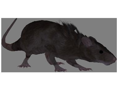 File:Oblivion Rat.png