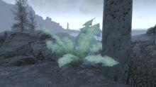 Giantnirnroot