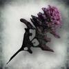 Цветы осоки благородной (Tribunal)