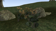 Goldkanet (Pflanze)