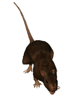 Rat Oblivion