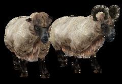 Вівця (Oblivion)