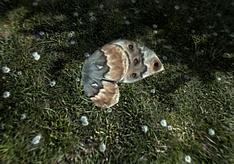 Крило метелика-пращура