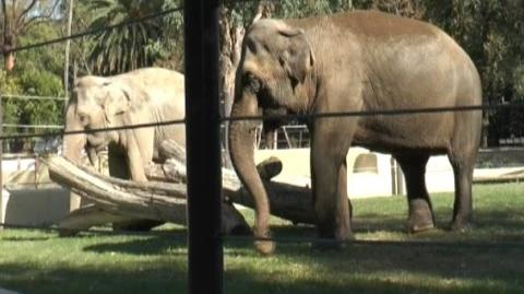 Napoli - Allo Zoo arrivano mamma e figlia elefantesse (02.11.15)