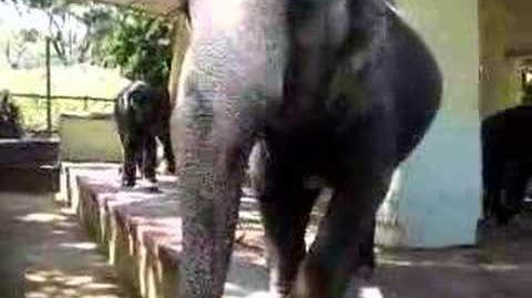 Elephant in Yangon Zoo
