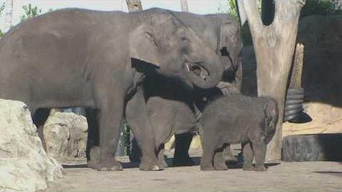 Australia's First Elephant Calf, Luk Chai, Turns One