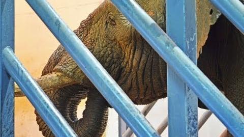 El elefante macho Kibo llega a Bioparc Valencia (19 de septiembre de 2013)