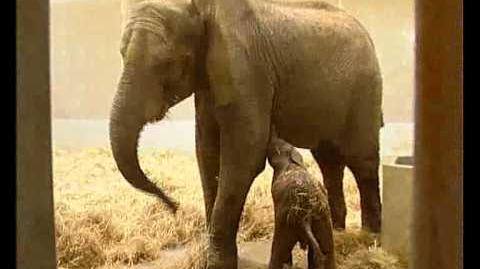 Baby Elephant Born at the Sóstó ZOO (Nyíregyháza, Hungary)