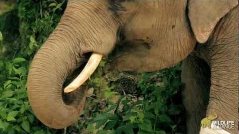 Chhouk The Elephant With a Prosthetic Foot