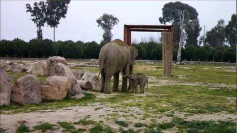 Türkiye'de doğan ilk fil İzmir. Merhaba hoşgeldin