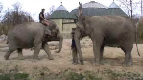 "Elefant ""Steffi"" im Tierpark Hellabrunn"