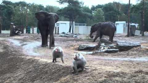 Nieuw verblijf voor olifanten en bavianen