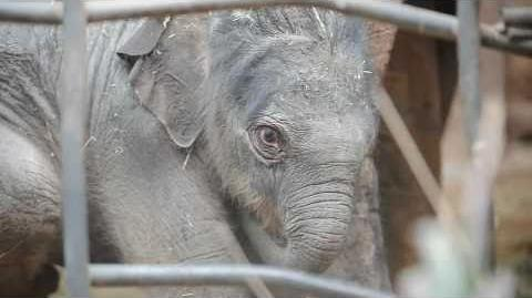 Baby Elephant Jamilah at Chester Zoo