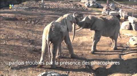 Quand les éléphants font connaissances au Safari de Peaugres