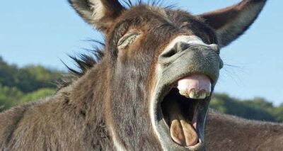 Donkey-mouth-open