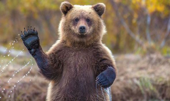 File:Grizzly-bear2.jpg