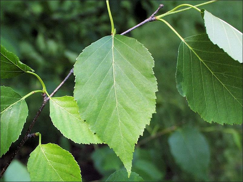 White Birch Elijah S Forest Wikia Fandom Powered By Wikia