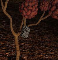 Mussidaean Seed Pod