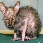 Ugly-cat-2