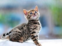 40-Impossibly-Beautiful-Pictures-of-Bengal-Kittens-8
