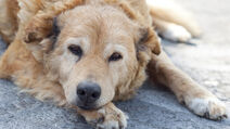 Old-dog-feature