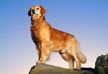 DOG 03 RK0346 11 P
