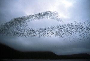 Auklet flock Shumagins 1986