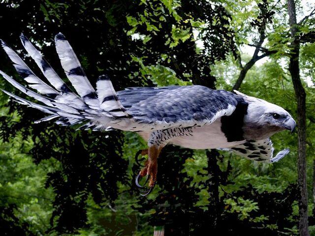 File:Harpy-Eagle 02.jpg