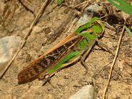 Acrididae - Locusta migratoria cinerascens-female