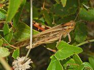Acrididae - Locusta migratoria cinerascens-male