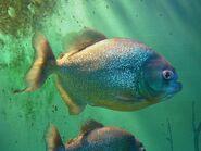 Piranha suma
