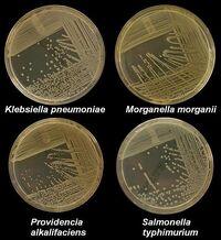 K pneumoniae M morganii providencia styphimuriuma