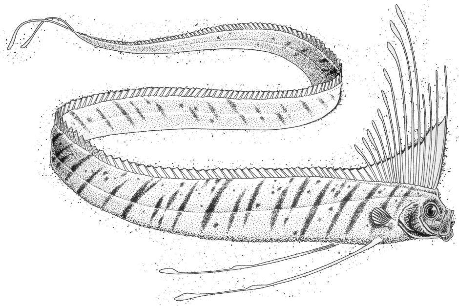Image - Oarfish sketch.jpg | Endless Ocean Wiki | FANDOM ... Oarfish Skull