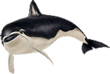 Spectacled porpoise png
