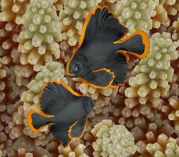 Dusky Batfish 2