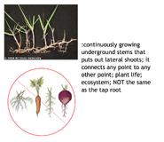 Rhizome vs