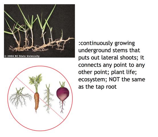 File:Rhizome vs. tap root