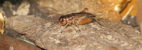 Acheta domestica male