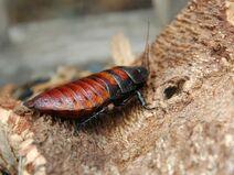 Female Madagascar hissing cockroach