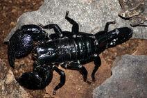 Adult emperor scorpion