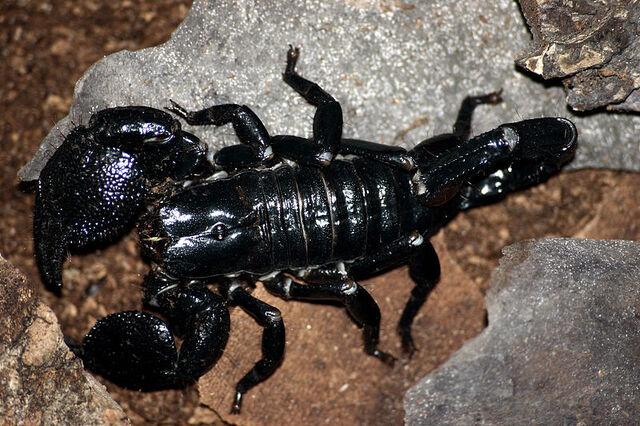 File:Adult emperor scorpion.jpg