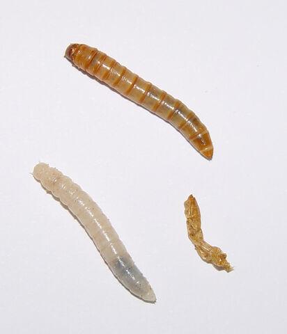 File:Tenebrio molitor larvae.jpg